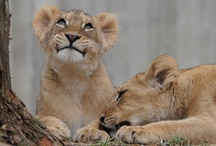 Lions <3 / by Alexis Kamp
