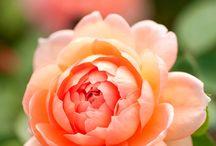 Flowers / Roses