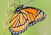 Beautiful Butterflies / Images of butterflies that I have captured