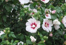 Dream garden / Rose of Sharon - I want this in my yard