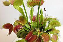 Rośliny-owadożerne