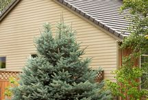 Conifers / Conifers comprise a wide group of mostly evergreen trees and shrubs that provide welcome color and structure all year round.