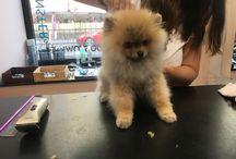 Toby  / Pomeranian puppy Toby