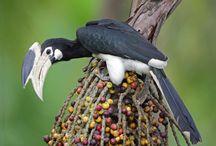Calao Toucan Hornbill (my spirit) / sous bien des aspects, in a different way