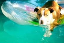 American Pit Bull Terrier <3 / by Amy Svenningsen
