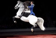 Andalusians and lipizzan