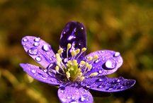 Hepatica - Blåveis - Blåsymre - Anemone