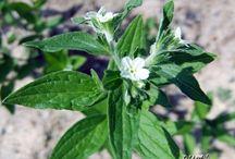 Medicinal Herbs