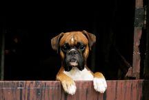 Boxer , hund