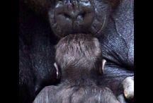 Orangutan, Csimpánz, Gorilla, Bonobo
