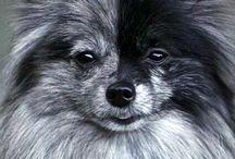 pomeranian / Pomeranian. ..pomeriaan...dwergkees...