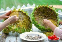 Harvesting seeds