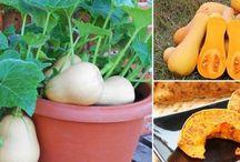 Cultivo de calabazas en maseta