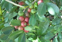 Cherry strawberry guava