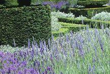 lavender / images of plants of lavender world wide