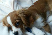 LADY NINA BELLE DOWELL / Beautiful  Baby Cavalier