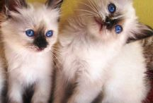 Gatti nel cuore / Amici gatti, Sacro di Birmania
