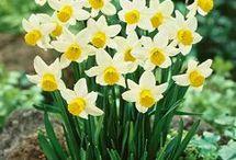 Daffodils kvety