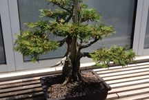 Bonsai / The Bonsai Collection at Como Park Zoo and Conservatory