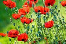 Klaprozen / Klaprozen, een prachtige bloem