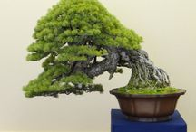 Great Bonsai Trees