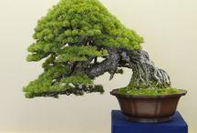 Great Bonsai Trees