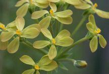 plants: pelargonium