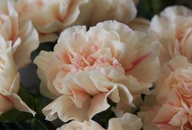 Carnations (Dianthus)