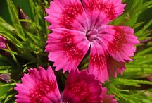 Carnations / My favourite flower