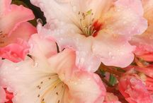 flowers Azalea blossoms