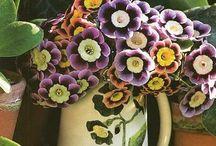Primula - prvosenka - vyš.klas.  Prvosenkovité