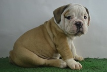 bulldog puppies for sale - bullcanes / Bullcanes - English and French bulldog puppies