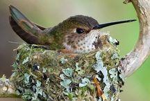 Hummingbirds & Cardinals