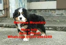 Jual Bernese Mountain (Von Javelline Kennel)