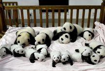 Pandas / Cute pandas!