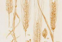 Brochure - Barley Illustration