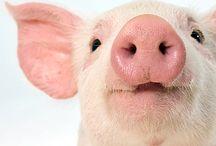 Piggy Facts