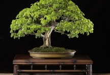 Brazilian Raintree