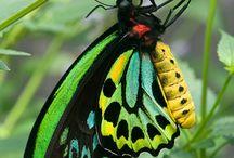 papillon bis