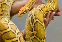 pitone snake