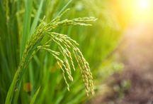 Subventii si fonduri pentru agricultura / Afla cu o clipa mai devreme tot ce trebuie sa stii despre acordarea subventiilor sau a altori fonduri pentru agricultura. http://www.antenasatelor.ro
