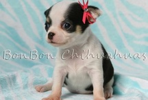 BonBon Chihuahua Puppies / www.ChihuahuaPuppiesAKC.com  to bring home one of these gorgeous pups! / by BonBon Chihuahuas