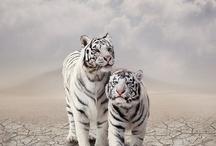 Tygrysy ♥