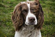 Dog, Dogs and English Springer Spaniels / by Linda Lane