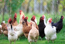 chickens / by Sherry Stebbins