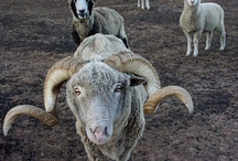 a r i e s / the energy of the ram.