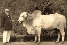 O CRPBZ agora é Zebu.Org! / Este espaço oferece uma bagagem repleta de estudos e fontes históricas sobre o legado do zebu no Brasil. Aqui é possível encontrar inúmeras referências sobre a pecuária zebuína e seus desdobramentos na memória e na história perante as adversidades enfrentadas nos mundos da produção e do abastecimento. • www.crpbz.org.br/