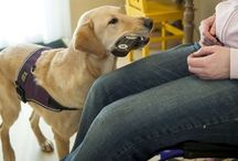 Assistentiehond / Je schoenen uittrekken of een pen van de grond rapen zijn eenvoudige handelingen voor wie geen handicap heeft. Maar vanuit een rolstoel kost zo'n actie grote inspanning. Een assistentiehond wordt speciaal getraind om binnens- en buitenshuis te helpen bij handelingen die de baas niet zelf kan of die veel pijn, moeite en energie kosten. Met hulp van de hond wordt de baas zelfstandiger en minder afhankelijk van anderen.