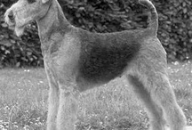 Airedales throughout history / by Michelle Ratliff-Ziskind