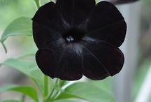 Black Blooms